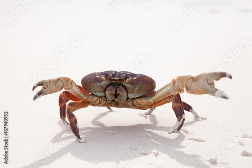 Hairy leg mountain crab