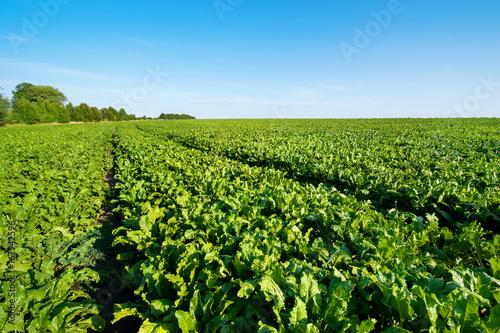 Fotografie, Obraz Sugar beet green leaves in field with blue sky