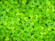 Leinwandbild Motiv Natural green background. Plant and herb texture. Leafs green young fresh oxalis, shamrock, trefoil close up