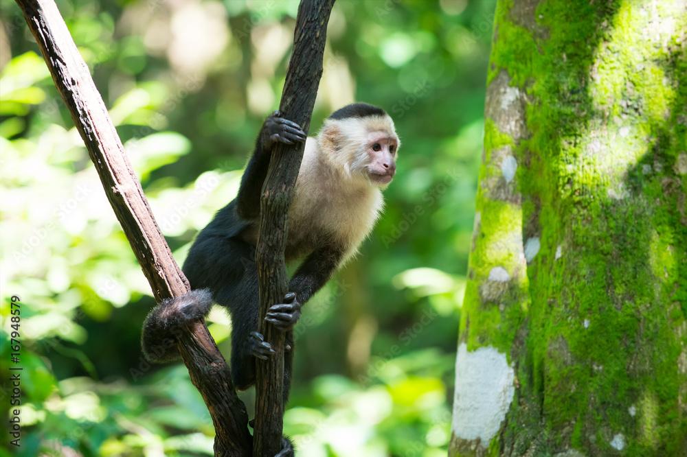 Photo  Monkey capuchin sitting on tree branch in rainforest of Honduras