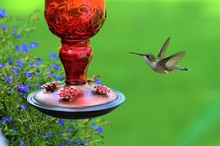 Green Hummingbird At Red Feede...