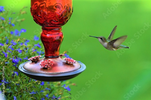 Photo  Green Hummingbird at red feeder with green background