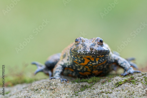European fire-bellied toad - Bombina bombina Wallpaper Mural