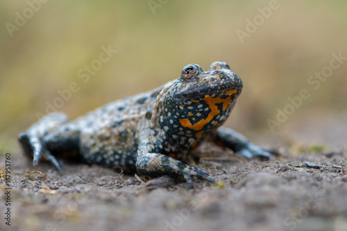 Photo European fire-bellied toad - Bombina bombina
