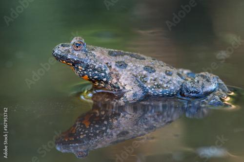 Photo European fire-bellied toad - Bombina bombina