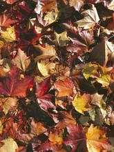Pile Of Wet Leaves In Autumn
