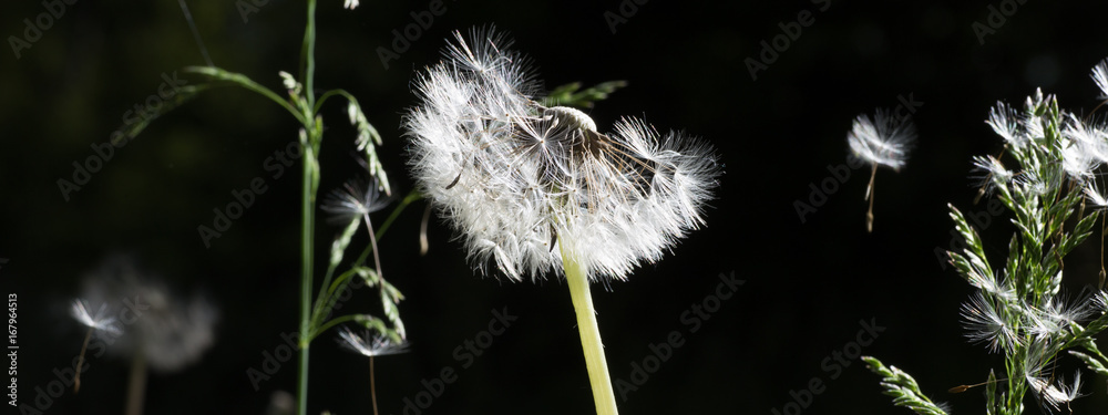Fototapety, obrazy: Dandelion seeds in the morning sunlight blowing away on a black background.