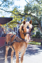 Carriage Horse In Charleston, ...