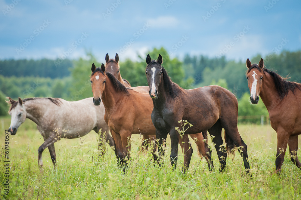 Fototapety, obrazy: Group of young horses on the pasture in summer