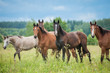 Group of young horses on the pasture in summer