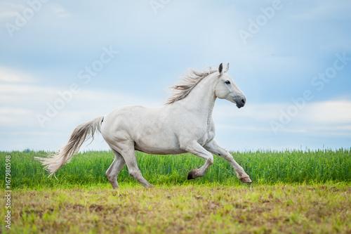 Beautiful gray horse running on the pasture