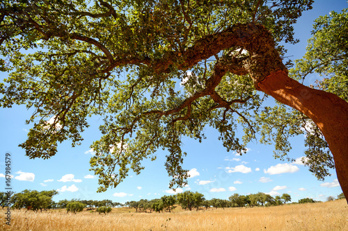 Photo Hilly Alentejo landscape with cork oak trees and yellow fields in late summer ne
