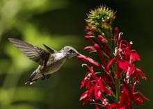 Ruby-throated Hummingbird On C...