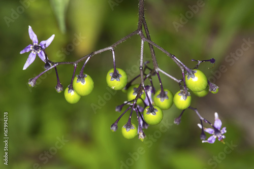 Fruits of invasive bittersweet nightshade are still green in Connecticut Canvas Print
