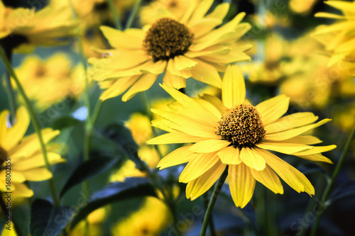 Arnica blossoms Wallpaper Mural