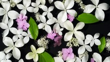 Top View Wet White And Pink Hydrangea Flowers And Green Leaves Float On A Black Water Surface Background