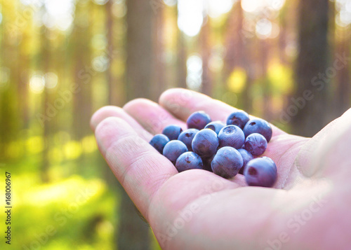 Fotografering  Woman holding blueberries in hand in forest