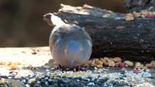 Mourning Dove Zenaida Macroura...