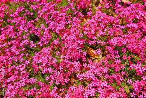 In de dag Candy roze 春の花咲く公園の風景13