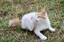 Kitten Lying Down On The Grass...