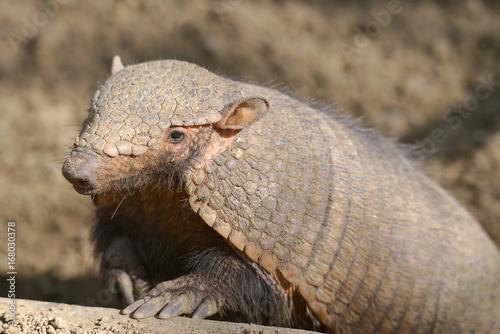 Closeup big hairy armadillo or large hairy armadillo (Chaetophractus villosus) Canvas Print