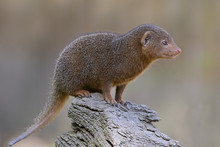 Closeup Dwarf Mongoose (Helogale Parvula)  Perched On Branch Tree