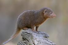 Closeup Dwarf Mongoose (Heloga...