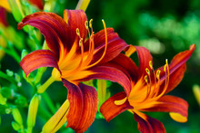 Beautiful Bright Daylilies On Flowerbed. Outdoors