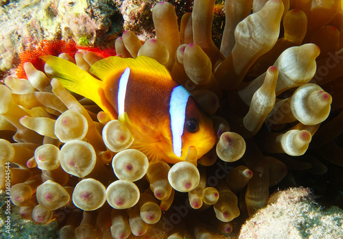 Poster Coral reefs Sad anemonefish with her eggs