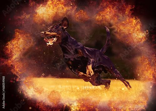 Canvas Dobermann im Feuer
