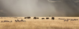 Fototapeta Sawanna - Stormy skies over the masai Mara with elephants and zebras