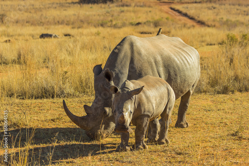 Rhino with large horn and baby
