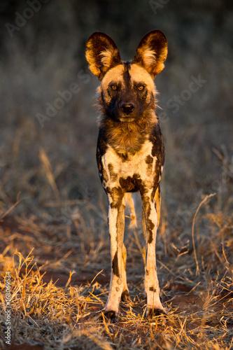 Wild dog aka Cape hunting dog aka painted dog aka painted wolf Canvas Print
