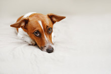 Cute Jack Russell Dog Lying On...