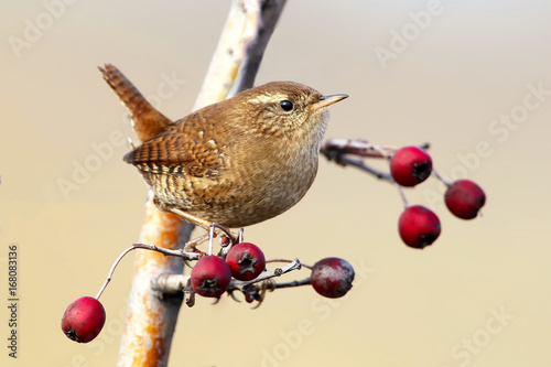 Fotografie, Obraz  Wren close up portrait with berries