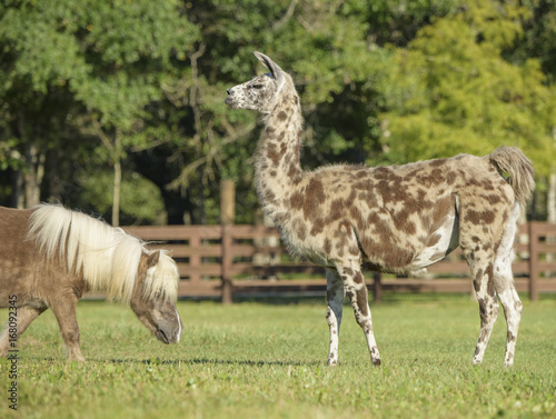 Llama and Miniature Horse comp[anion in grass paddock Canvas Print