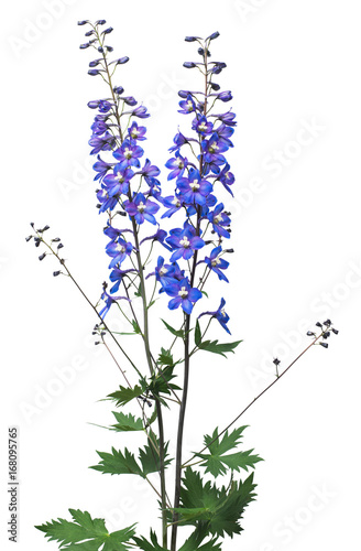 Fotografia Beautiful blue dolphinium flower isolated on white background