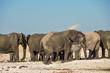 African Elephant Herd at Etosha