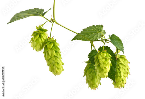 Foto auf Leinwand Bier / Apfelwein Hop Cones Isolated on the White Background.