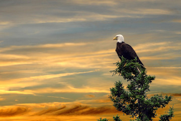 Fototapeta Ptaki Eagle sitting top pine tree sunset
