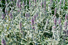 Blooming Flowers Stachys Byzantina Medical Plant
