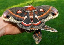 The Beautiful Giant Silk Moth ...