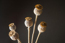 Head Heads Of Opium Poppy (Pap...