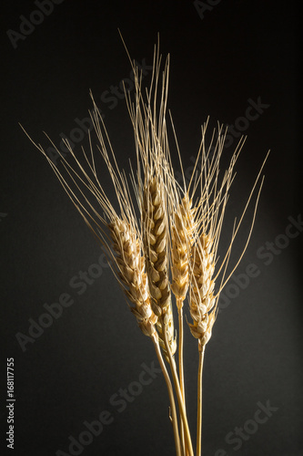 Dry golden organic wheat isolated on a black background, vertical.