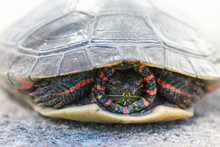 Painted Turtle Hiding In Shell