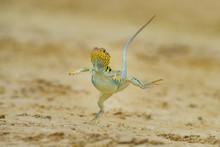 "Bearded Dragon"", Crotaphytus Collaris"