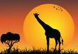 Giraffe in the african savanna at the sunrise