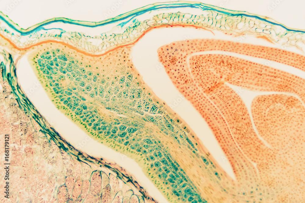 Fototapety, obrazy: Cell microscopic- macro weevil rye