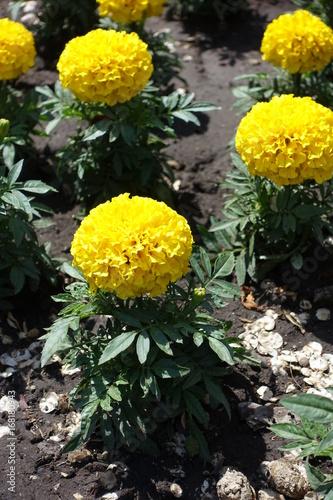 Plakat Zamyka up żółty kwiat nagietek
