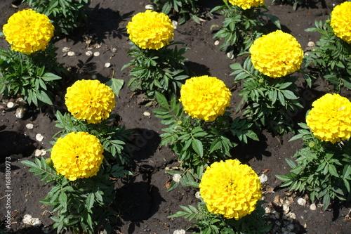 Plakat Kwiatostan żółty meksykański nagietek w ogródzie